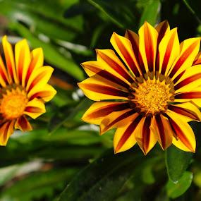 Two Flowers by Lauren Manzano - Flowers Single Flower