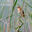 Carricero tordal (Great reed warbler)