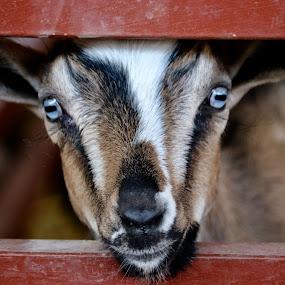 At the fair by Lyn Simuns - Animals Other Mammals ( goat, fair, eyes )