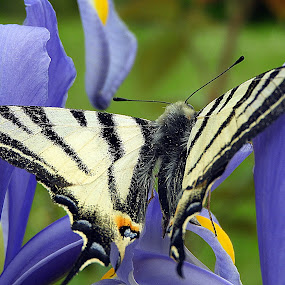 butterfly at lily by Bojan Dobrovodski - Animals Insects & Spiders ( butterfly at lily blue wzld )