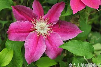 Photo: 拍攝地點: 梅峰-溫帶花卉區 拍攝植物: 鐵線蓮 拍攝日期: 2014_05_27_FY