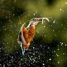 SPLASH! by Charlie Davidson - Animals Birds ( bird, scotland, wild, nature, wildlife )