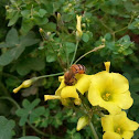 Western Honey bee.