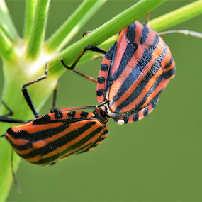 Black stripes by Slaven Bandur - Animals Insects & Spiders ( macro, green, black, insects, branch, summer, peaceful, mating, red, bugs, daylight, plant, macro photography, sunny, meadow )