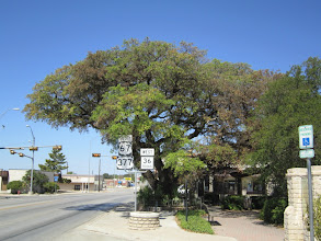 "Photo: We start the first leg of the trip on Sunday with a stop to check on one of our Famous Trees, the ""Fleming Oak"" in Comanche."