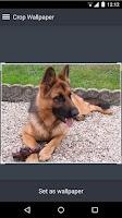 Screenshot of German Shepherds Wallpapers