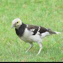 黑領椋鳥 ,SturnusNigricollis