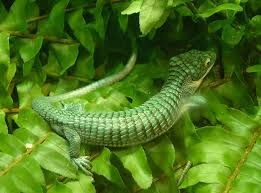 Description: Abronia .jpg
