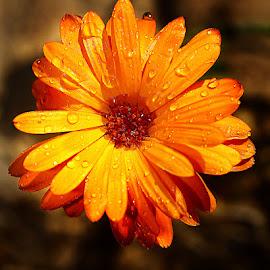 Quel souci ! by Gérard CHATENET - Flowers Single Flower