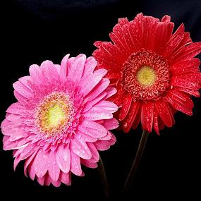 by Biljana Nikolic - Flowers Flower Arangements (  )