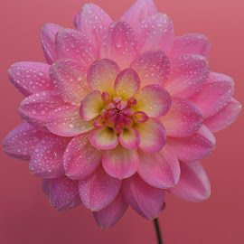 Pink Lollipop Splashed by Gillian James - Flowers Single Flower ( water drops, pink, close up, dahlia, flower )