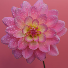 Pink Lollipop Splashed by Gillian James - Flowers Single Flower ( water drops, pink, close up, dahlia, flower )