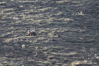 Photo: Denali National Park. Grizzly mit Nachwuchs