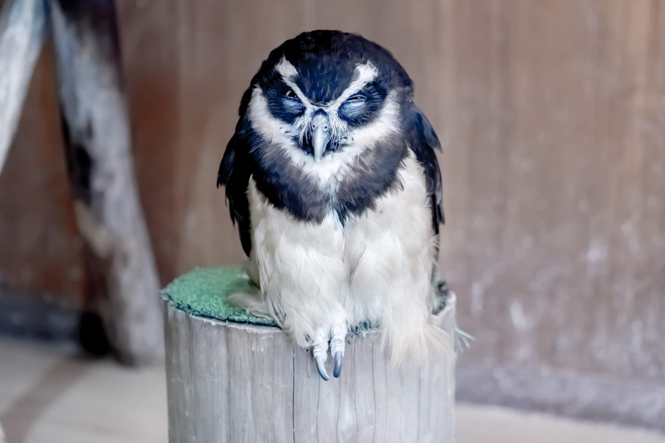 Tenpozan Anipa owl