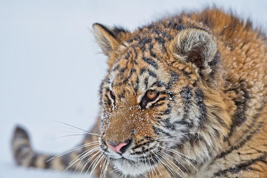 by Bencik Juraj - Animals Lions, Tigers & Big Cats ( tiger, close up,  )