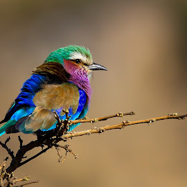 Purple roller by Johann Fouche - Animals Birds ( color, troupant, bird, colourful, roller,  )