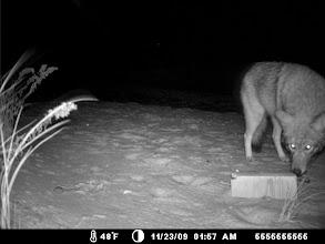 Photo: Elizabeth Islands - a coyote
