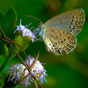 sweet butterfly by Sjamsul Rizal - Animals Insects & Spiders