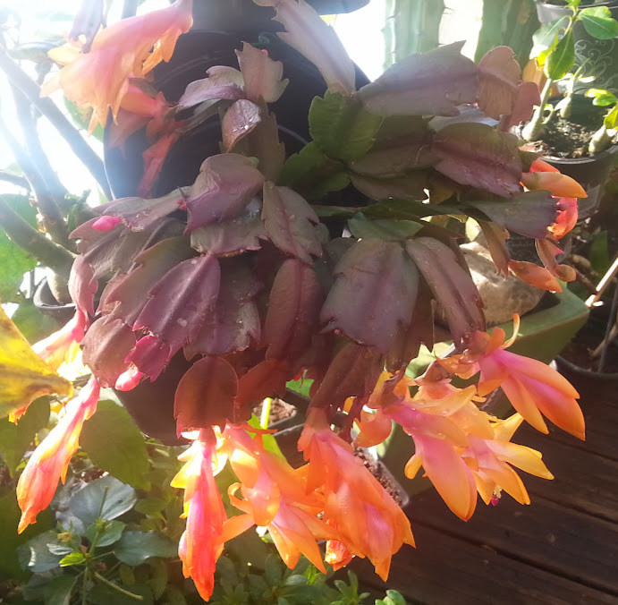 fleur de Rhipsalidopsis (corrigé) Ps-nw2lv6uS_ZyCEUaecLp-3L43WwtWD_ArGYmAp4gc=w692-h677-no