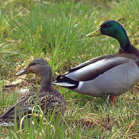 Spring Nesting site shopping by Steve Kane - Animals Birds (  )