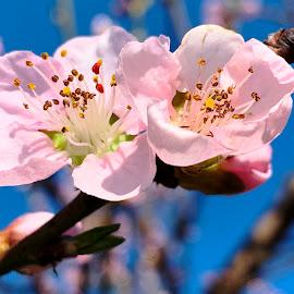 by László Nagy - Flowers Tree Blossoms