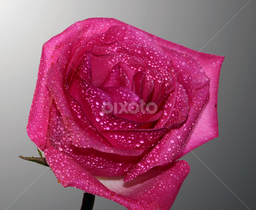 by Dipali S - Nature Up Close Flowers - 2011-2013 ( rose, water drops, pink, closeup, flower )