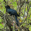 Asian koel (Male)-কোকিল