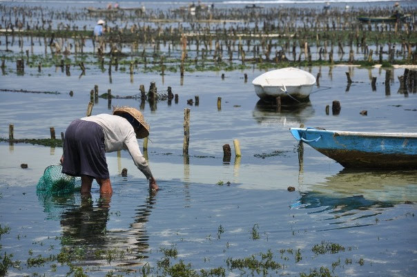 Seaweed Farm, Nusa Lembongan
