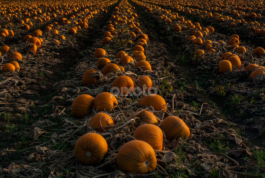 The Pumkin Patch by Shaun Groenesteyn - Landscapes Prairies, Meadows & Fields ( orange, pumpkin, gardens, farming, halloween, seasons, autumn, food, fall, pwcpumpkins, gardening, squash, harvest )