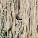 Red-eared Waxbill / Black-rumped Waxbill