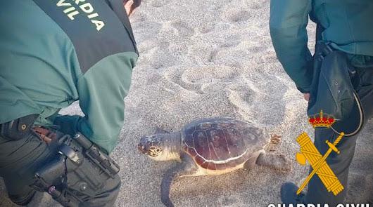 Aparece muerta una tortuga boba en una playa de Roquetas