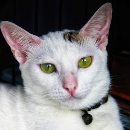 Meong by Hartono Wijaya  - Animals - Cats Portraits ( close up, bekasi, nature, cat, animal, animals, portrait, indonesia, canon )