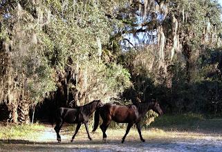 Photo: Wild horses, Payne's Prarie