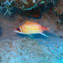 Longjaw squirrelfish