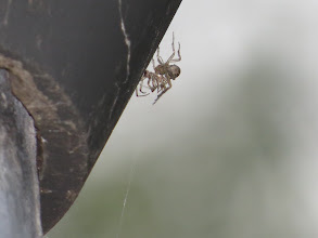 Photo: 18 Jul 13 Priorslee Lake: Been trying to count the legs! Is this a female spider eating her mate? (many species do!). Or with a prey-item? I think the latter as it seems to have eyes like a fly rather than the row of eyes that most spiders show. (Ed Wilson)