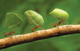 Photo: Ants are probably the most interesting animal next to humans. They live in an anthill colony which is actually a super-organism. A super-organism is an organism made out of many organisms. A worker ants cannot, as an individual, get offspring, but her genes multiply when the queen produces larvae that the worker ant shares 75% of her genes with. Therefore the single ant has a place in the reproduction, and is willing to sacrifice its life for the survival of its genes. There are approximately 1 million ants for every human on Earth.  People: a community is an artificial super-organism. But the rules are forced down upon us, for the good of all,  as we have not evolved to live in large groups. The human brain can handle 150 acquaintances - not enough for a modern society. We will therefore feel uneasy in a modern society with it's arbitrary rules.   Edward O. Wilson is the worlds leading expert on ants and has written some of the most important books on sociobiology and biodiversity.  r/K selection theory: http://www.pbs.org/wgbh/nova/next/nature/ant-colonies-just-collective-purpose-collective-personalities/