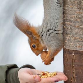 Squirrel by Vadim Malinovskiy - Animals Other Mammals