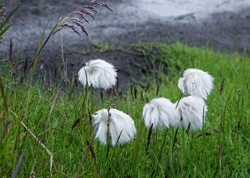 soffice cotone islandese di Fabio6018