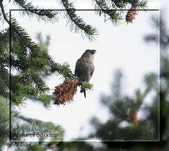Photo: Mindre korsnäbb, juv – Loxia curvirostra - Common Crossbill
