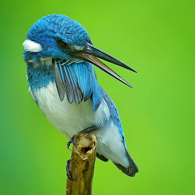 Stay cool.. by Yoce Mocodompis - Animals Birds ( nature, perched, birding, kingfisher, wildlife )