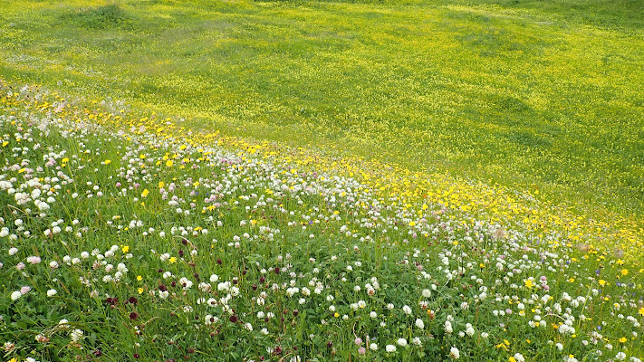 Giugno: mare di fiori in montagna di laura62