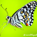 Lime butterfly (female)