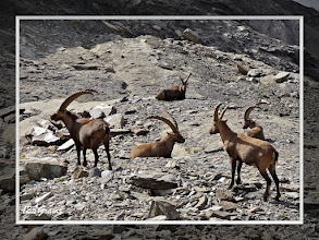 Photo: Bouquetin des Alpes, Capra ibex