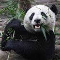 Adorable Pandas Live Wallpaper icon