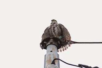 Photo: 撮影者:@恩方 ツミ(♀) タイトル:蓑を着たツミ 観察年月日:2014.06.08 羽数:1羽 場所:八王子市内 区分:猛禽 メッシュ:八王子9K コメント:大雨警報が解除された午後、営巣情報のあったポイントに出かけてみました。巣の中で大雨からヒナを守るために覆いかぶさっていたのでしょう、雨の上がった時間に電柱の上で翼を乾かす姿が見られました。まるで蓑を着たような姿に営巣時の大変さがうかがえます。