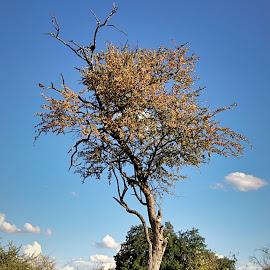 Kiaat by Pieter J de Villiers - Nature Up Close Trees & Bushes