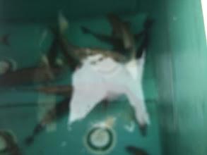 Photo: これは・・・? あっ! シモカワさんのイケスでした! オカモトさんの写真は、どこにいったかなー?