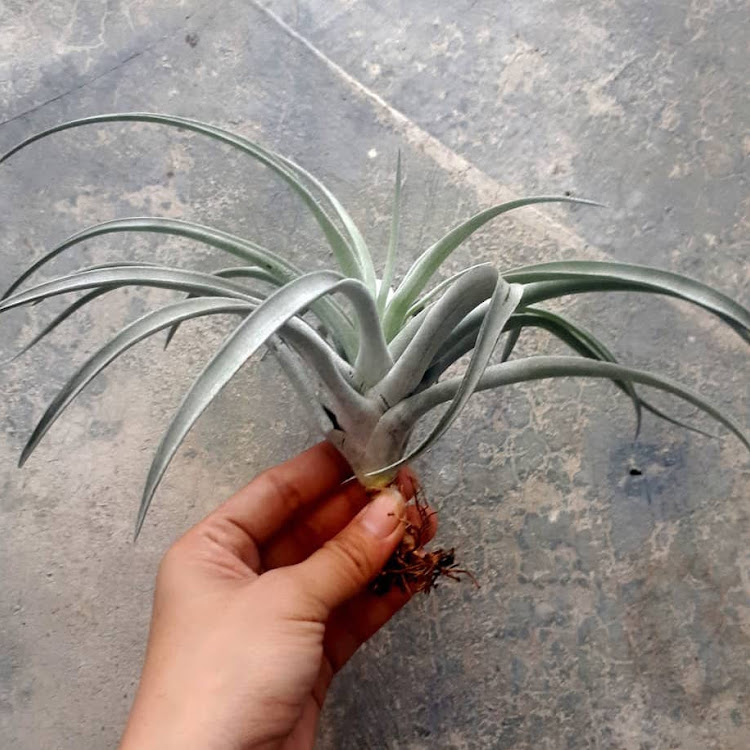 Tillandsia Pink Velvet by AquaticsForevers Enterprise