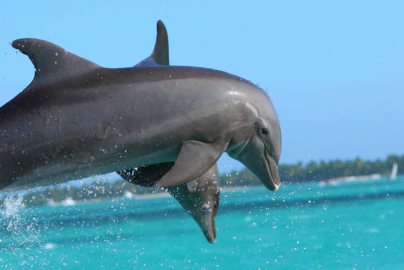 Dolphins in a show in Punta Cana, Dominican Republic.