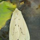 Ermine Moth